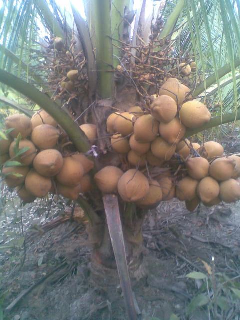 Bình Chánh - Bán dừa giống Malaysia...Thu hoạch nhanh - Hiệu quả cao...$$$$ - 2