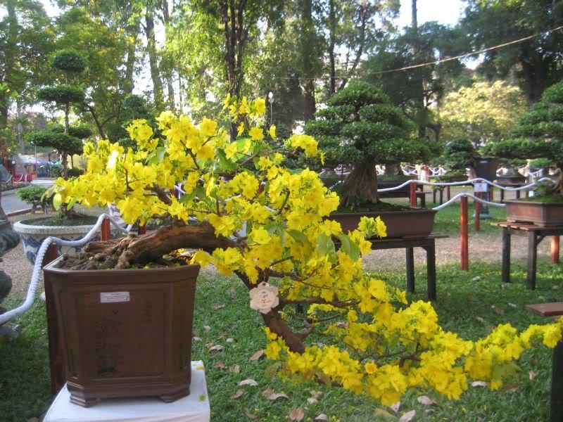 Một số hình ảnh cây mai - hoa mai vàng