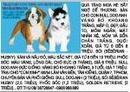 Tp. Hồ Chí Minh: Bán chó con Bull Dog Anh: vàng bò khoang trắng, mập ú, đẹp, đầu to, mõm ngắn CL1003013
