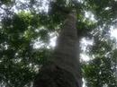 Đồng Nai: Cần Bán gấp 4.000 hecta cây cao su thanh lý rất đều và đẹp từ 25 đến 30 năm tuổi RSCL1093066
