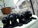 Tp. Hồ Chí Minh: Chó phú quốc thuần chủng cực chuẩn, vện cọp, đen tuyền, vàng lửa RSCL1029045