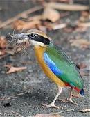 Tp. Hồ Chí Minh: Mình có 1 cặp chim lạ cần bán , nghe nói là chim đuôi cụt, màu mè rất đẹp. CL1016798