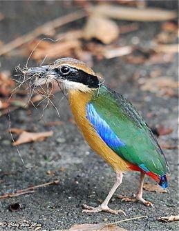 Mình có 1 cặp chim lạ cần bán , nghe nói là chim đuôi cụt, màu mè rất đẹp.