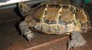 Tp. Hồ Chí Minh: Cần bán 1 pé rùa núi viền dài 20cm giá 500k(chưa fix)ai mua liên hệ số đt CL1145554P11