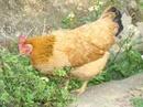 Tp. Hải Phòng: Bác nào ở nội thành, ngoại ô có nhu cầu ăn gà quê liên hệ với em theo số CL1145554P11