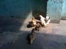 Tp. Hồ Chí Minh: Bán 5 con Senema 4 tháng tuổi một mái đang kêu ổ gà last A 2 lạng mốt CL1145554P11