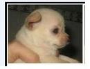 Tp. Hồ Chí Minh: chó chihuahua ,chó Pug giá rẻ CL1061405P9