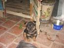 Tp. Hà Nội: Bán chó con lai Nhật, đen, nâu vàng, cái CL1063613P10