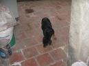 Tp. Hà Nội: Bán chó con Rott, 2 tháng tuổi, khoảng hơn 5kg, cái, mầu đen, nâu vàng, đã tiêm CL1061405P9