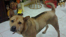 Tp. Hà Nội: Bán chó phú quốc CL1061405P9