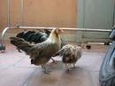 Tp. Hồ Chí Minh: Bán đàn gà tre lai, 1 trống 4 mái. CL1145554P11