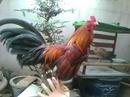 Tp. Hồ Chí Minh: Mình có em gà tre điều cần bán.gà 2 mùa trạng 1kg50 CL1145554P11