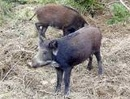 Tp. Hồ Chí Minh: Chuyên cung cấp heo rừng thịt thuần chủng thái lan, heo ngon ,ngọt .chất lượng CL1110253P9