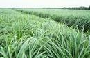 Tp. Hà Nội: tinh dầu sả java CL1024212
