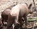 Tp. Hà Nội: Bán lợn rừng Thái Lan nhân dịp tết có nhiều ưu đãi, giá cả hợp lý CL1110253P8