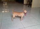 Tp. Hồ Chí Minh: Phối giống chó chihuahua CL1061405P9