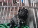 Tp. Hồ Chí Minh: Trại chó Hoàng Phúc chuyên cung cấp Pug và Bull Dog thuần chủng, chất lượng CL1061405P8