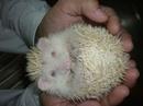 Tp. Hồ Chí Minh: shop hamster pro , 3 nhím kiểng sinh vào đêm giáng sinh tìm chủ mới CL1016648