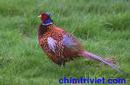Tiền Giang: Bán giống chim trĩ đỏ có đầy đủ giấy kiễm lâm tỉnh tiền giang CL1409010P6