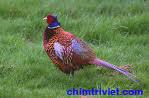 Bán giống chim trĩ đỏ có đầy đủ giấy kiễm lâm tỉnh tiền giang