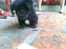 Tp. Hồ Chí Minh: Bán chó nhật siêu cute CL1061405P8