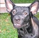 Tp. Hà Nội: Bán Chó Phú Quốc thuần chủng mang từ đảo về lúc 2 tháng tuổi, đã nuôi tại Hà nội RSCL1029045