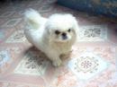Tp. Hồ Chí Minh: Bán 1 cún đực bắc kinh trắng con thuần chủng hơn 3 tháng tuổi, mặt tịt, mũi gãy CL1061405P8