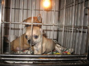 Tp. Hồ Chí Minh: HCM- chó chihuahua cho mọi người CL1061405P8