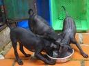 Tp. Hồ Chí Minh: Bầy chó Phú Quốc màu đen, 3,5 tháng, đã chích ngừa, 1.600.000/con. RSCL1029045