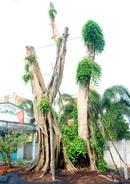 Đồng Tháp: Cây sanh cổ thụ 140 năm tuổi, chu vi thân 6m cao 12m dáng phu phụ tử tôn CL1070908P9