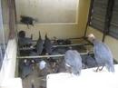 Tp. Đà Nẵng: Trang trại BA TIẾN - Chuyên cung cấp thịt và giống và trứng: Gà Sao, Kỳ Đà, Heo CL1203541P11