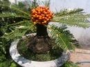 Tp. Hồ Chí Minh: Cần bán cây thiên tuế, vạn tuế 36 năm, có trái CL1070908P9
