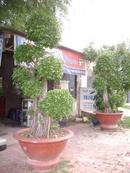 Tp. Hồ Chí Minh: Bán 2 cây si Bon sai, giá 3tr 2 cây. Trang Dai Bien Hoa, CL1070908P9