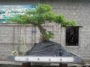 Nam Định: Bán cây sanh dáng nghênh phong 50 năm đã lên chậu đá CL1070908P9