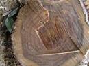 Đăk Nông: Bán gỗ tròn keo lai rừng trồng CL1079792