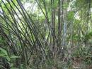 Đăk Nông: Chúng tôi hiện cần bán lồ ô cây với số lượng lớn hoặc hợp tác chế biến các SP CL1016136