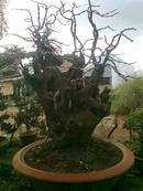 Tp. Hồ Chí Minh: Cần bán cây lộc vừng cổ có tuổi đời 100 tuổi CL1070908P9