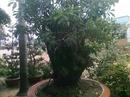 Tp. Hồ Chí Minh: Em có mấy gốc lộc vừng rất đẹp, bác nào có nhu cầu xin liên hệ với em, xem cây tại CL1070908P9