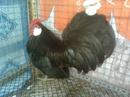Tp. Hồ Chí Minh: Bán cập gà rosecomb 8 tháng gà đang đẻ lứa đầu CL1030367