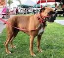 Tp. Hồ Chí Minh: Bán chó boxer cái đã đẻ một lứa đang lên giông lứa hai , giá 5 triệu CL1029045