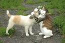 Tp. Hà Nội: Bán chó - Mèo CL1098584P10