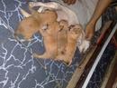 Tp. Hồ Chí Minh: Bán bầy chihuahua 1,5 tháng tuổi màu vàng thuần chủng, đã chích ngừa và tẩy giun CL1029045