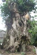 Tp. Đà Nẵng: Chuyên bán, trồng: Lộc Vừng, Sanh, bồ đề Ấn Độ, Khế.. CL1070908P6