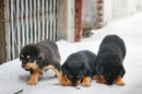 Tp. Hồ Chí Minh: Bán bầy rottweiler hai tháng đã sổ lải trích ngừa đầy đủ chó bố ngoại nhập CL1029045