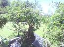 Tp. Đà Nẵng: Cây sanh đã vào đá rất đẹp . cho ai thích chơi non bộ hoặc quán cafe CL1070908P6