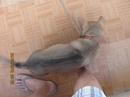 Tp. Đà Nẵng: Cần bán 1 chó Cái Phú Quốc 4,5 tháng. Mặc dù rất mê nhưng do nhà có con nhỏ CL1029045