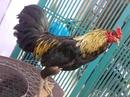 Tp. Hồ Chí Minh: Cần bán gà lai Phi, Ô Chuối, nặng 3kg, chân xanh, 3 hàng vảy, mắt ếch. CL1203541P10