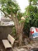 Tp. Hồ Chí Minh: Bán một cây sung gần 20 năm tuổi giá 19 tr. CL1070908P6