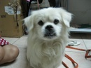 Tp. Hồ Chí Minh: Chúng tôi đang thất lạc một chú chó nhật lai Bắc Kinh như hình trên. CAT16_295