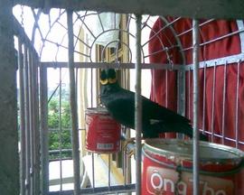 Cần bán gấp chim Yểng!.